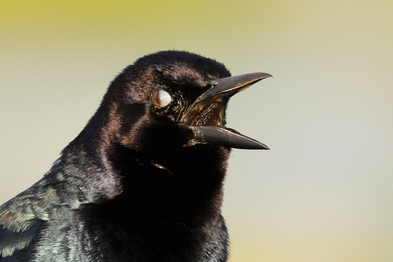 Nictitating-membrane-grackle-_W5A0777--Indian-Lake-Estates,-FL