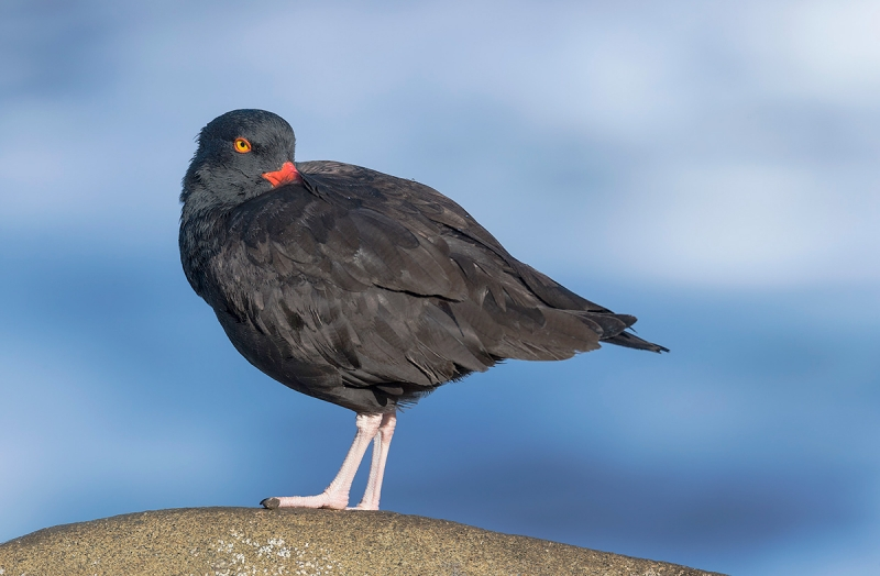 OYSTER-CATCHER_1