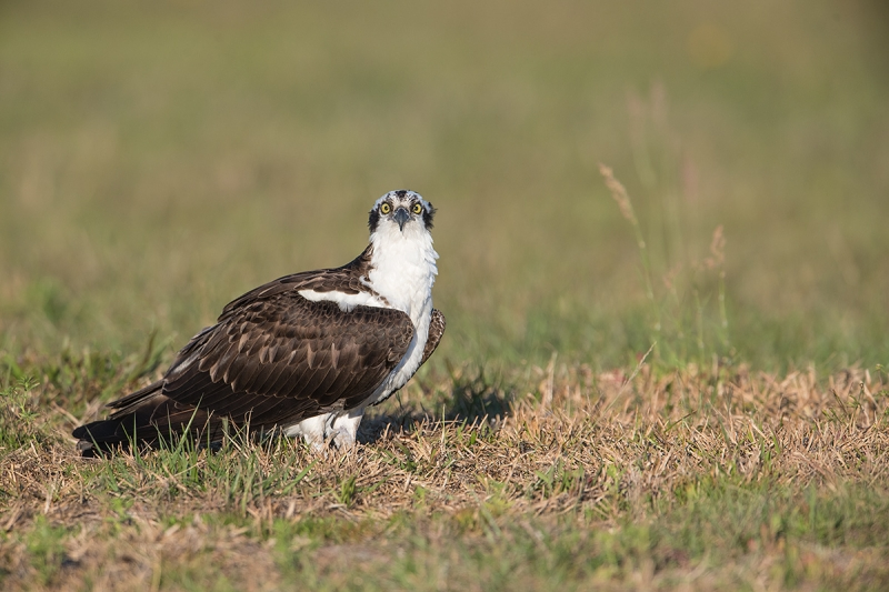 Osprey-staring-_DSC3085--Indian-Lake-Esates,-FL