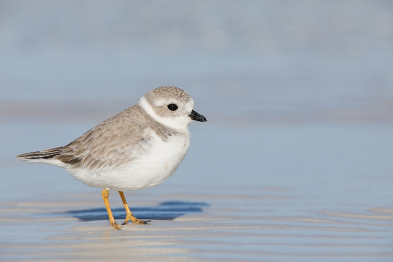 Piping-Plover-worn-juvenile-_W5A9493-Fort-DeSoto-Park,-Pinellas-County,-FL-