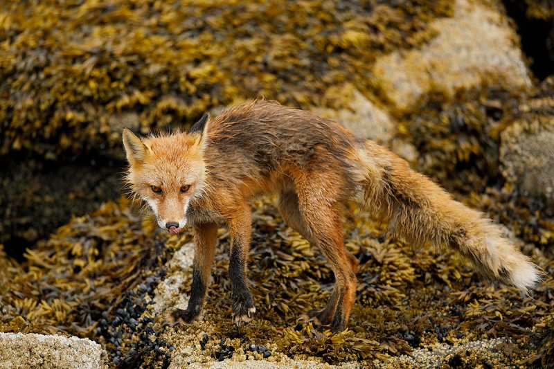 Red-Fox-on-rocks-_W5A5439-Kukak-Bay,-Katmai-National-Park,-AK