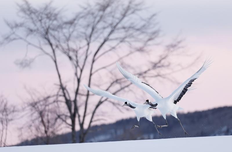 Red-crowned-Cranes-aking-flight-at-dusk-_P3A6693-Hokkaido,-Japan
