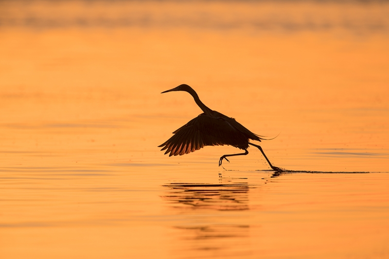 Reddish-Egret-running-start-_DSC7242--Fort-DeSoto-Park,-FL