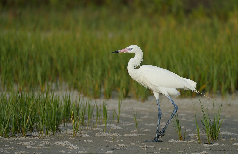 Reddish-Egret-white-morph-_A0I1193-Fort-DeSoto-Park,-Pinellas-County,-FL
