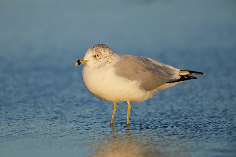 Ring-billed-Gull-winter-plumage-adult-_W5A9799-Long-Island,-NY