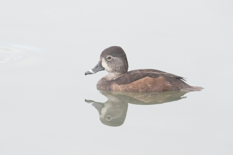 Ring-necked-Duck-hen-on-foggy-morning-_J1I8405--Gilbert-Water-Ranch,-Phoenix,-AZ