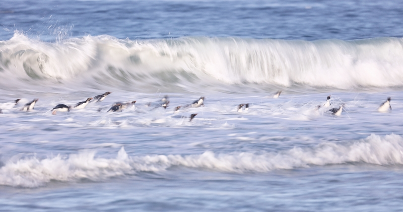 Rockhopper-Penguins-in-surf-blur-_P3A7682-Saunders-Island--The-Neck,-The-Falklands