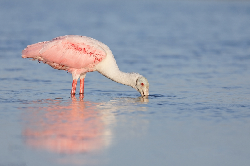 Roseate-Spoonbill-foraging-_P3A0624--Fort-DeSoto-Park,-FL