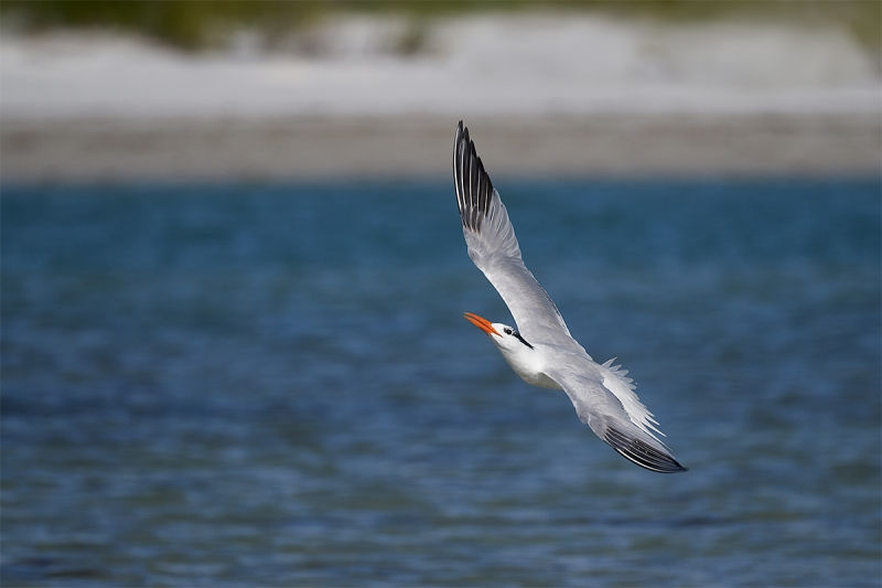 Royal-Tern-in-flight-_A7R0746--Fort-DeSoto-Park,-Tierra-Verde-FL-1