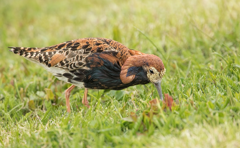 Ruff-feeding-_MAI3043-Vadso,-Norway