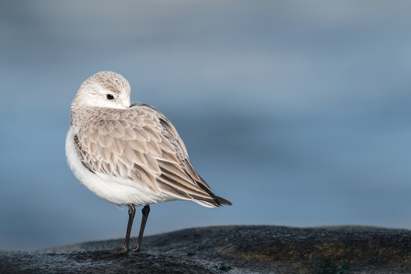 Sanderling-winter-plumage-adult-_DSF2601-La-Jolla,-CA