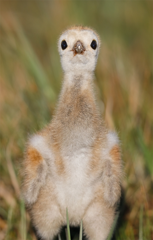 Sandhill-Crane-chick-about-1-week-old-_W5A2019-Indian-Lake-Estates,-FL