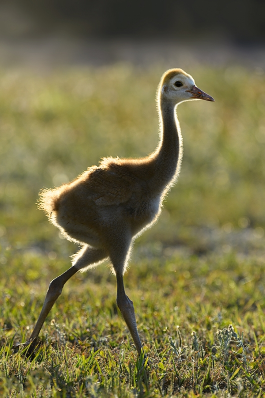 Sandhill-Crane-chick-backlit-_DSC0408--Indian-Lake-Esates,-FL