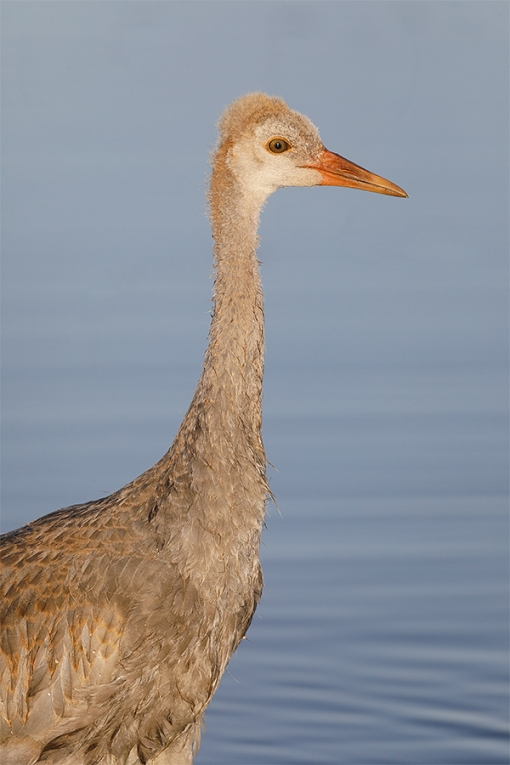Sandhill-Crane-colt-_P3A2267-Indian-Lake-Estates,-FL