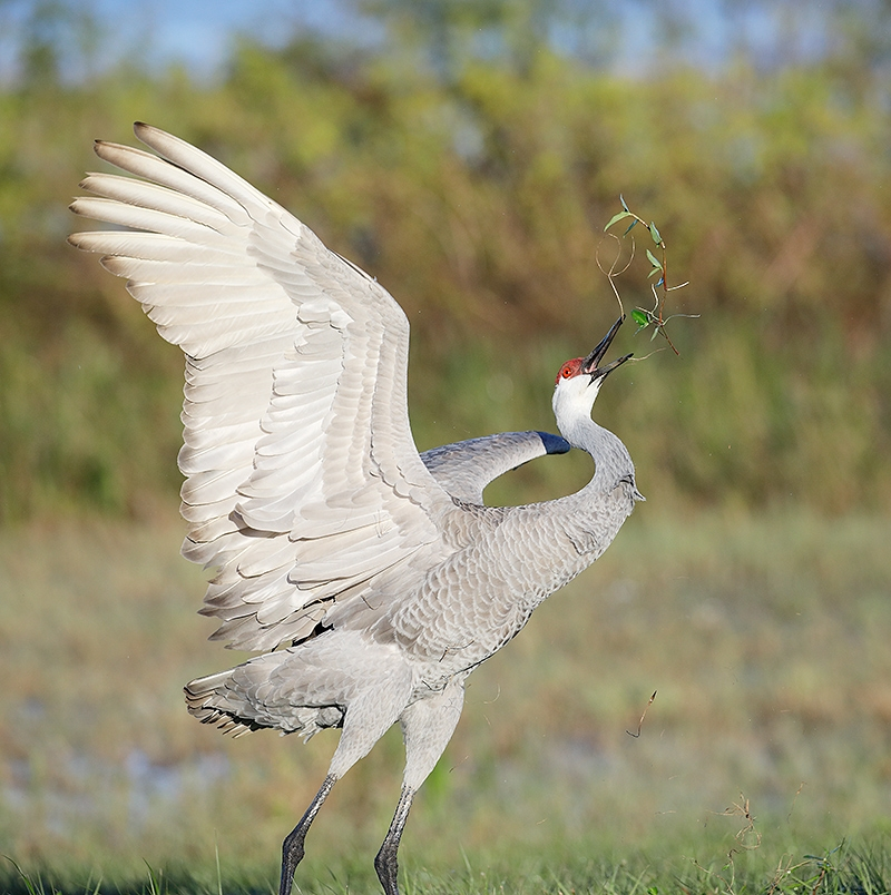 Sandhill-Crane-grass-throwing-display-_P3A0982--Indian-Lake-Estates,-FL