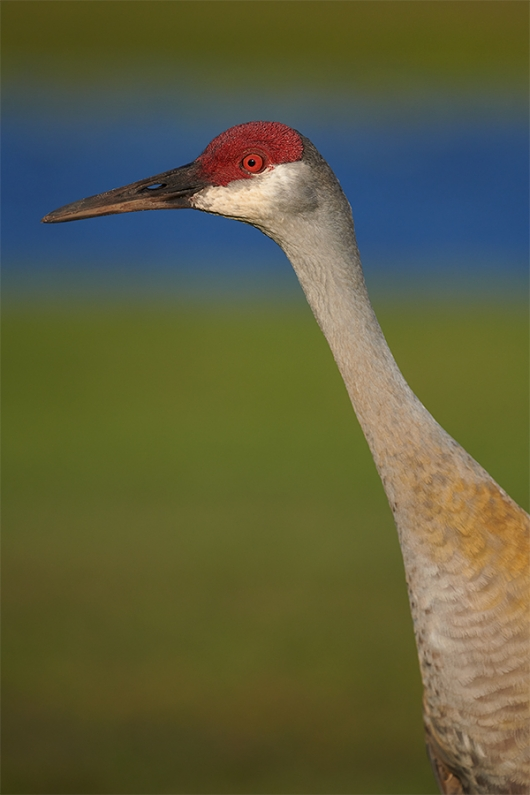 Sandhill-Crane-head-and-neck-portrait-_BUP0714-IndianLake-Estates,-FL-1