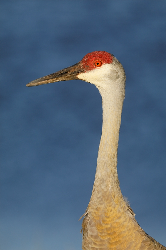 Sandhill-Crane-head-&-neck-vert-portrait-_P3A1684-Indian-Lake-Estates,-FL