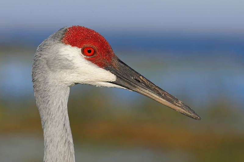 Sandhill-Crane-head-portrait-_P3A3819-Indian-Lake-Estates,-FL