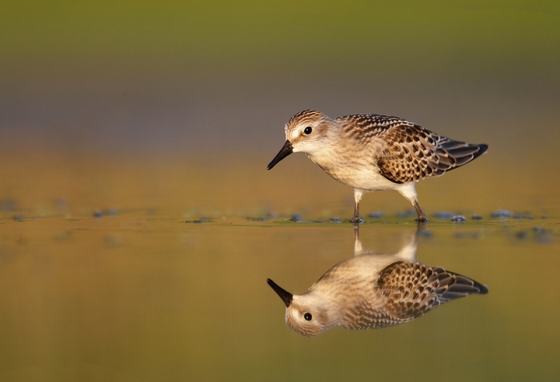 Semipalmated-Sandpiper-juvenal-plumage-w-reflection_V5W0100--Jamiaca-Bay-Wildlife-Refuge,-Queens,-NY