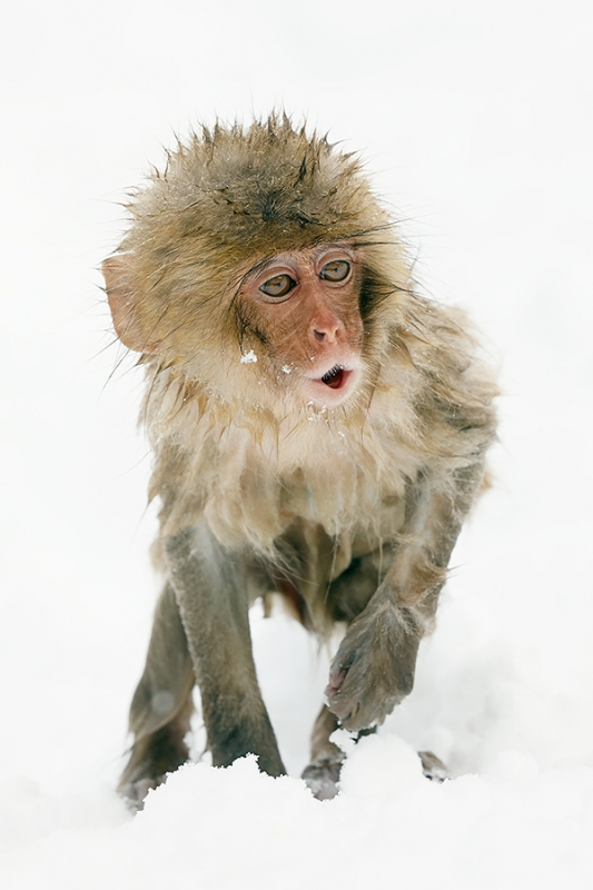 Snow-Monkey-baby-whistling-_P3A4660-Jigokudani,-Japan