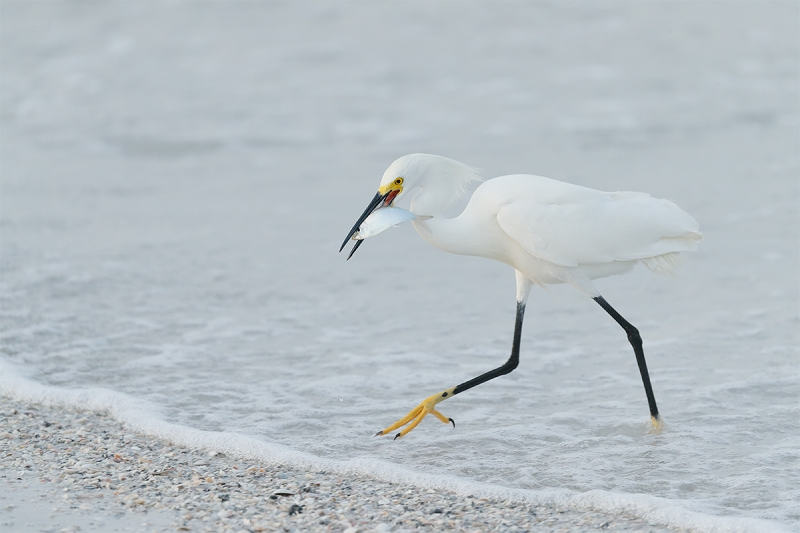 Snowy-Egret-with-greenback-_A0I1070-Fort-DeSoto-Park,-Pinellas-County,-FL