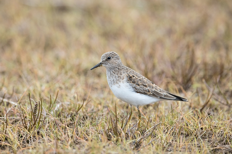 Temminck's-Stint-_MAI3982--Norway