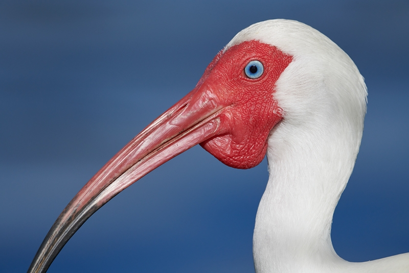 White-Ibis-)-breeding-plumage-head-portrait-_BUP9124-Lakeland,-FL