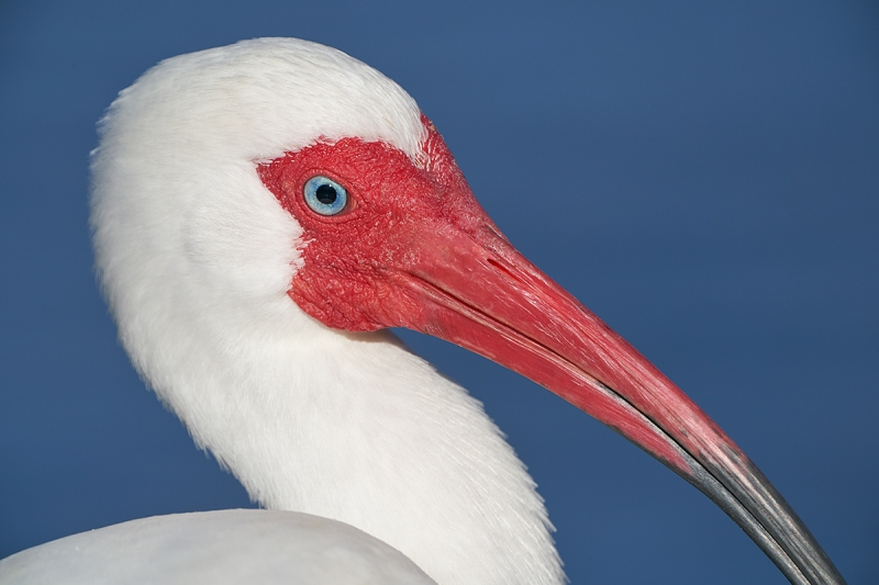 White-Ibis-tight-head-portrait-_A9A4978Lakeland,-FL