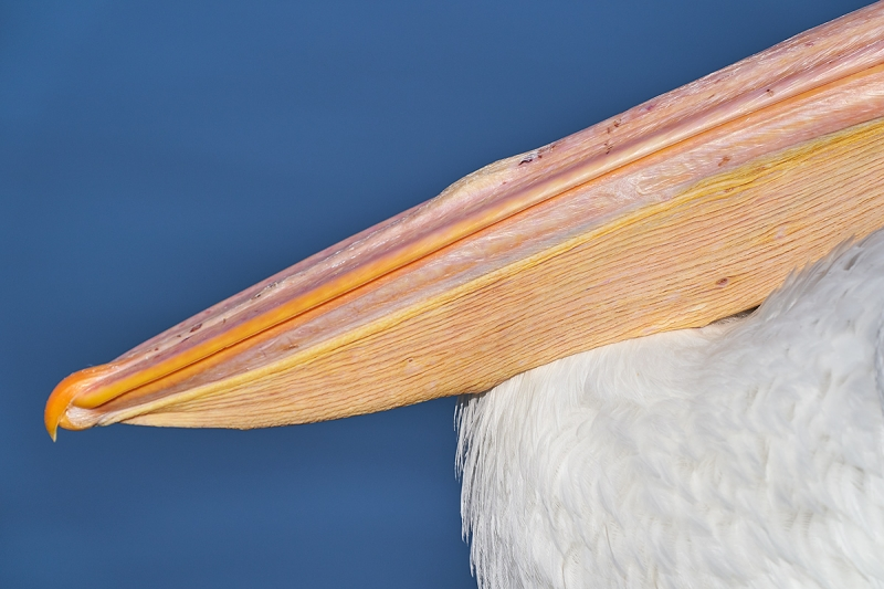 White-Pelican-bill-non-breeding-_A9A0272--Lakeland,-FL-1