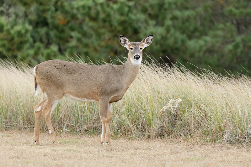 White-tailed-Dear-doe-leveled-_P3A0332-Long-Island,-NY