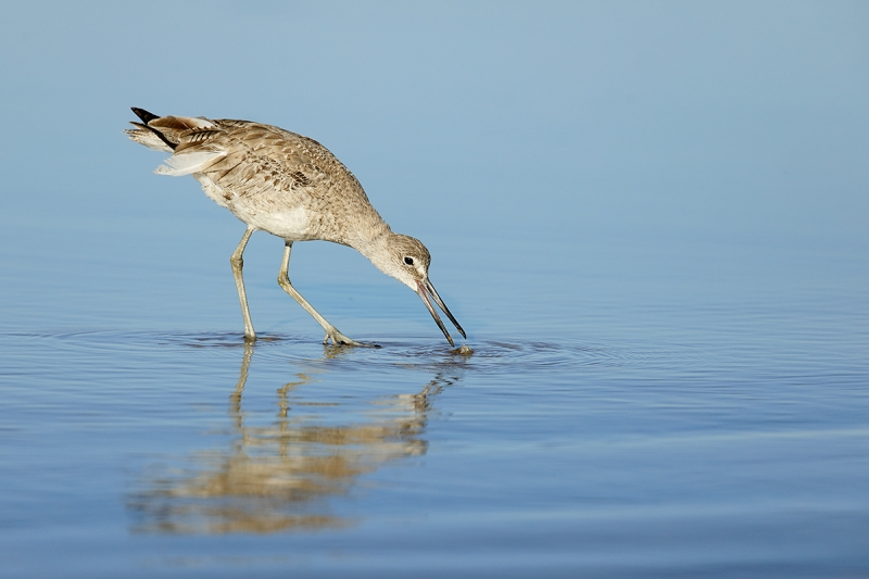 Willet-catching-sand-crab