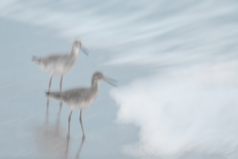 Willets-in-stormy-surf-_W5A8867-Fort-DeSoto-Park,-FL