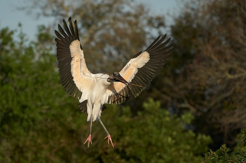 Wood-Stork-with-nesting-material-_A9A1960-Brandon,-FL-1