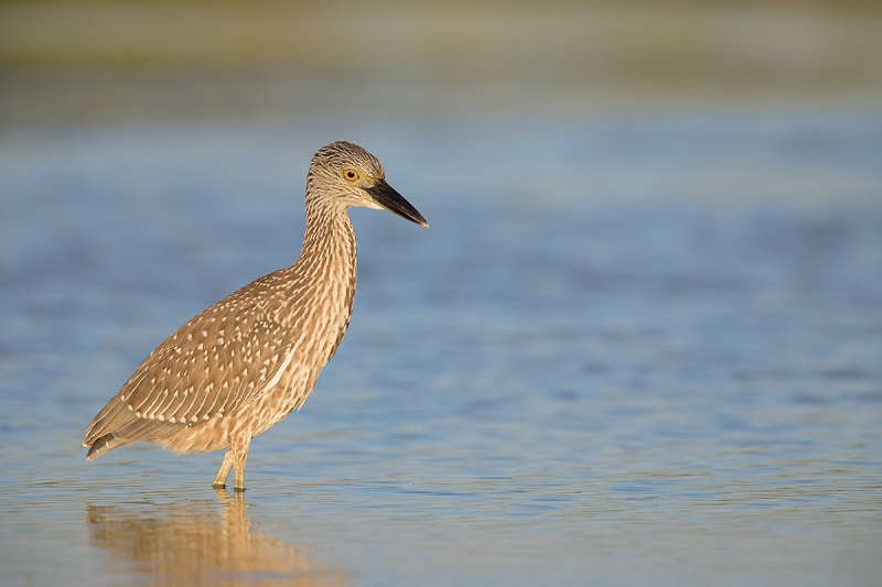 Yellow-crowned-Night-Heron-_W5A6854--Fort-DeSoto-County-Park,-FL