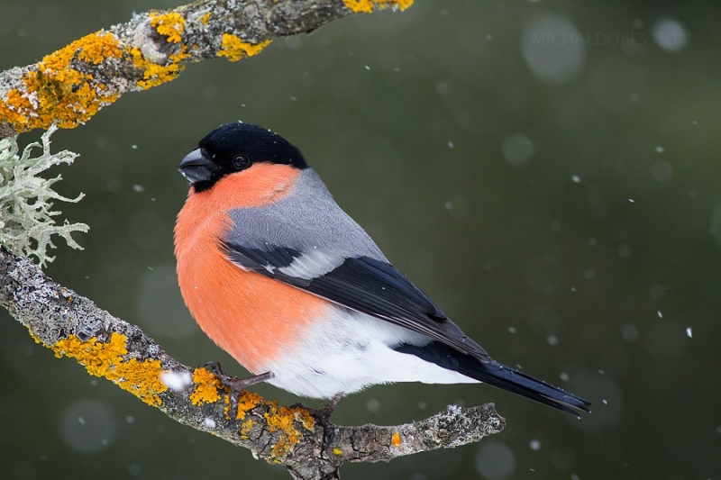 bullfinch-michael-dobes