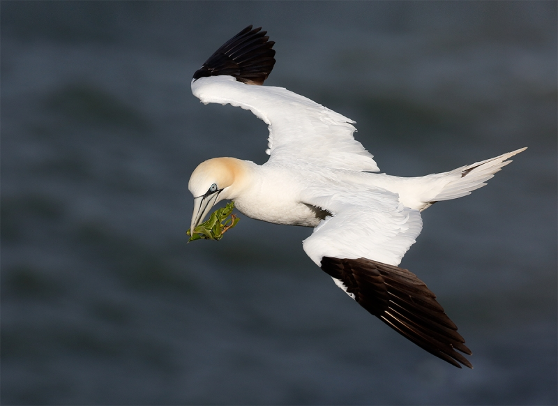 gannet-flight-grass-v2 mike poole