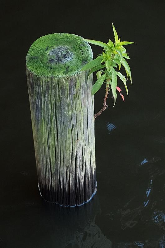 plant-growing-on-piling-in-water-_BUP3306Indian-Lake-Estates,-FL