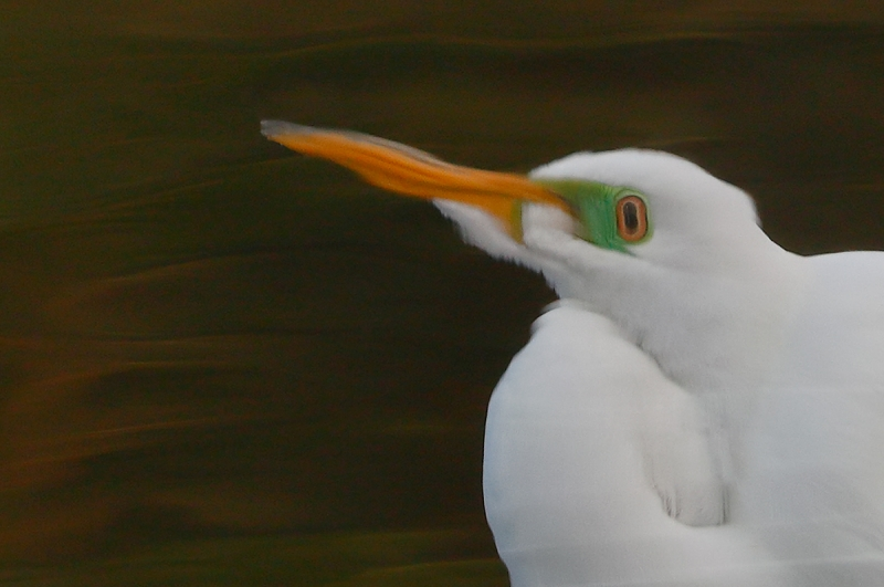 psychadelic-flopped-crop-Great-Egret-in-gorgeous-green-water-_A0I0222-Gatorland,-Kissimmee,-FL,--
