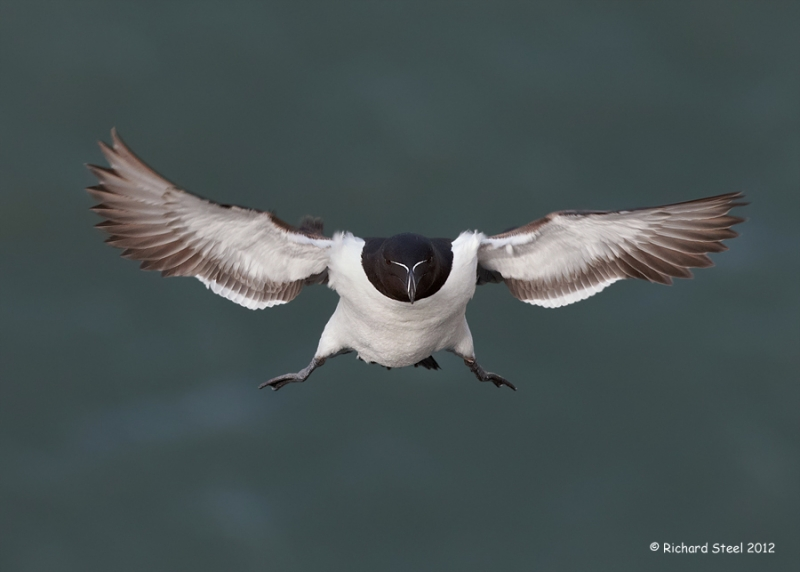 rich-steel-Razorbill-2012-207
