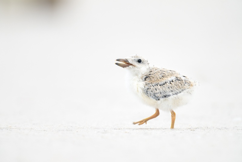 Black-Skimmer-chick-about-12-days-old-_A1B4278-Nickerson-Beach-Lido-Beach-NY