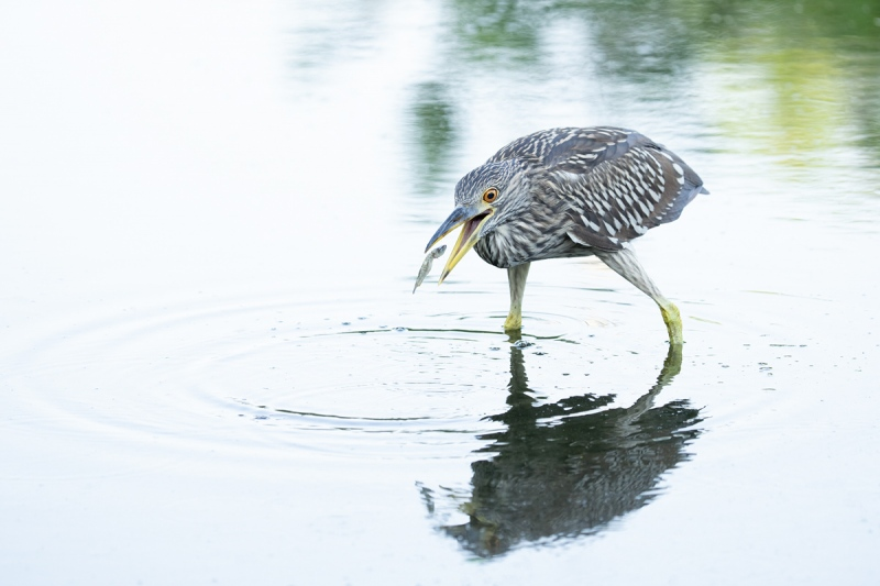 Black-crowned-Night-Heron-juvenile-catching-small-dead-fish-_A1B2011-North-Tampa-Rookery-FL-