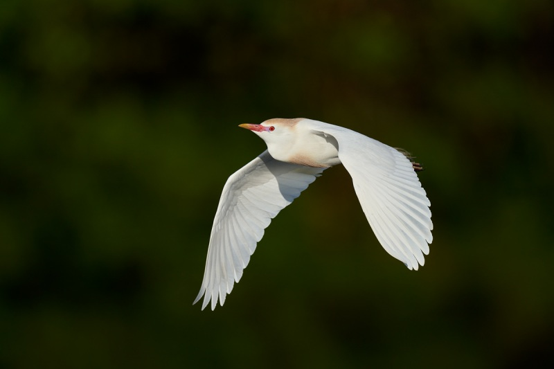 Cattle-Egret-breeding-plumage-HH-840mm-flight-_A1A3335-Stick-Marsh-Fellsmere-FL