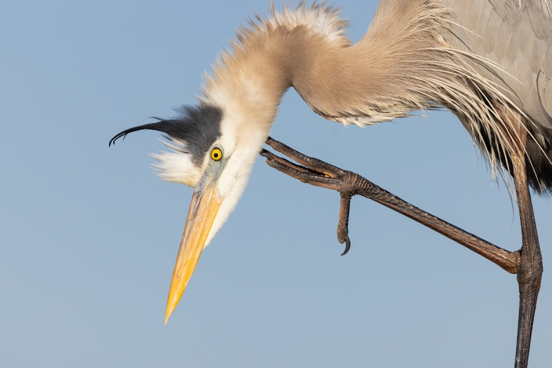 Great-Blue-Heron-tight-scratching