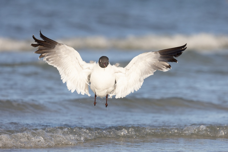 Laughing-Gull-jumpipng-up-after-bath-_91A4574-Fort-DeSoto-Park-Tierra-Verde-FL-