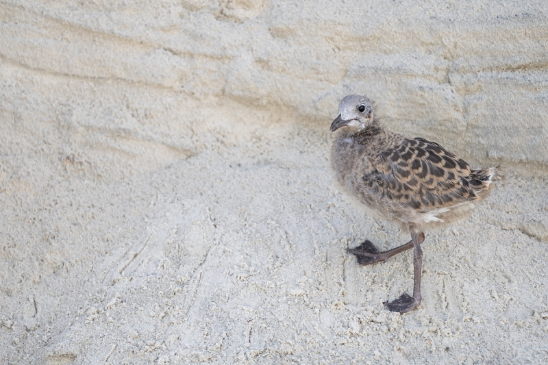 Laughing-Gull-large-chick-on-dune-_A1B6561-Jacksonville-FL
