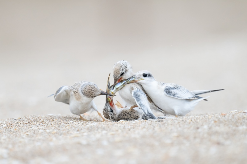 Least-Tern-chicks-battling-over-fish-_A1A2050-Southeast-Florida