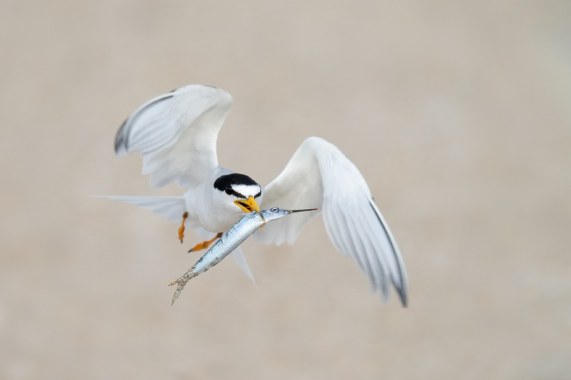 Least-Tern-with-needlefish-for-young-_A1A1278-Southeast-Florida