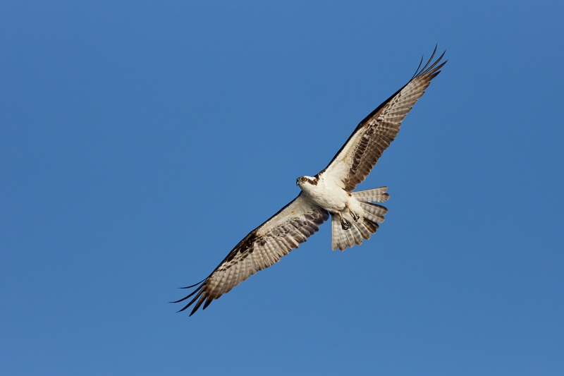 Osprey-flat-angled-flight-_91A4433-Lake-Blue-Cypress-FL