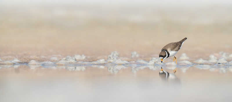 Semiplamated-Plover-foraging-_A1A0774-Indian-Lake-Estates-FL-