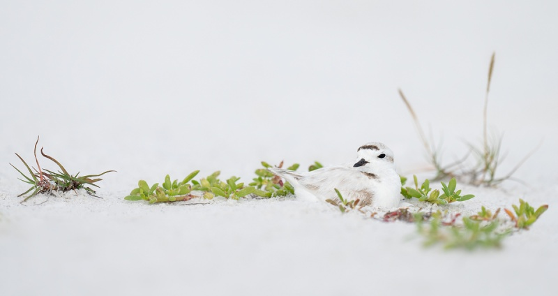 Snowy-Plover-on-nest-_A1A4125-Fort-DeSoto-Park-FL-